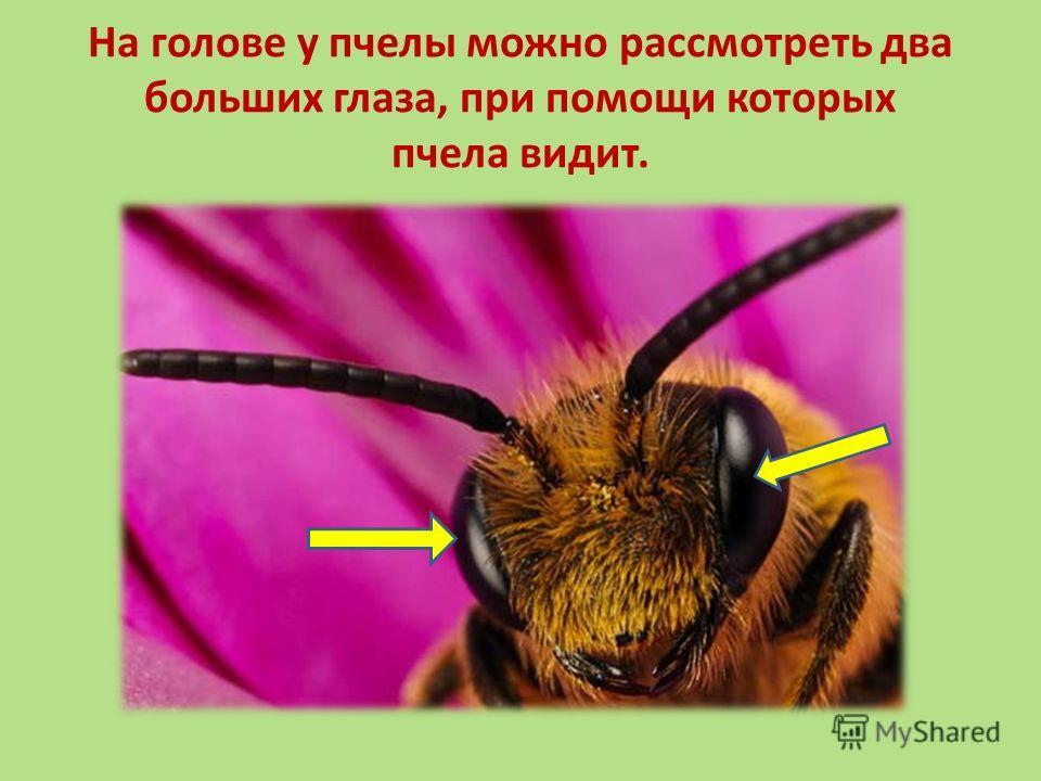 На голове у пчелы можно рассмотреть два больших глаза, при помощи которых пчела видит.