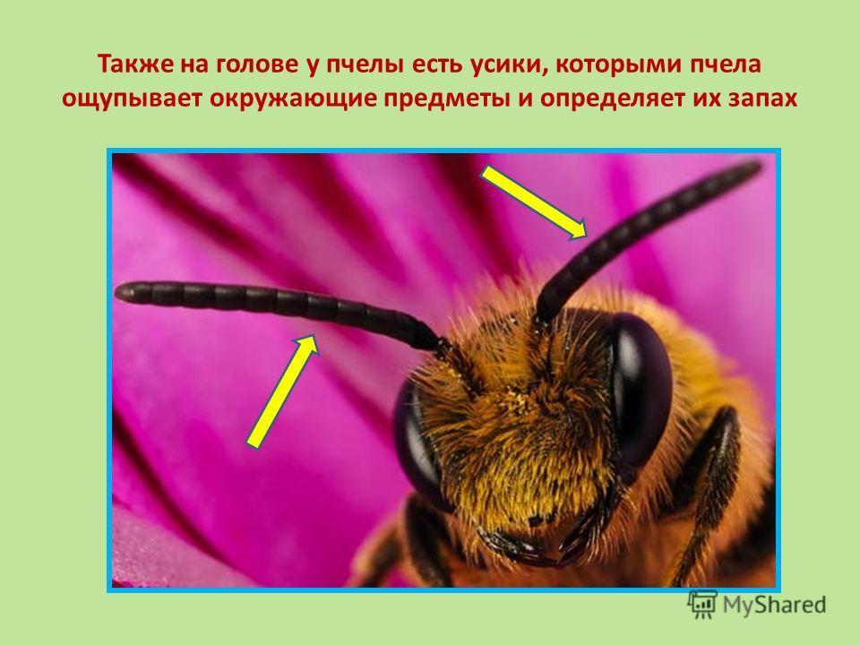 Также на голове у пчелы есть усики, которыми пчела ощупывает окружающие предметы и определяет их запах