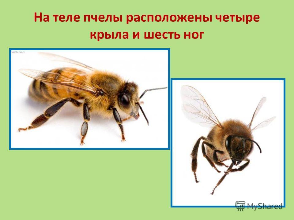 На теле пчелы расположены четыре крыла и шесть ног