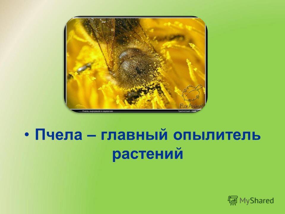 Пчела – главный опылитель растений