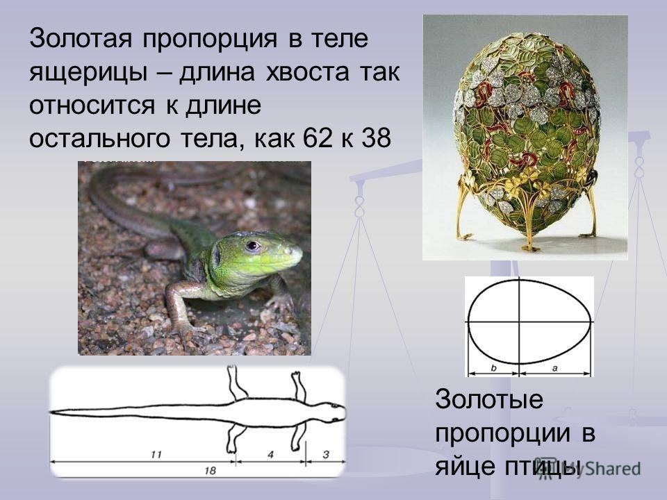 Золотая пропорция в теле ящерицы – длина хвоста так относится к длине остального тела, как 62 к 38 Золотые пропорции в яйце птицы