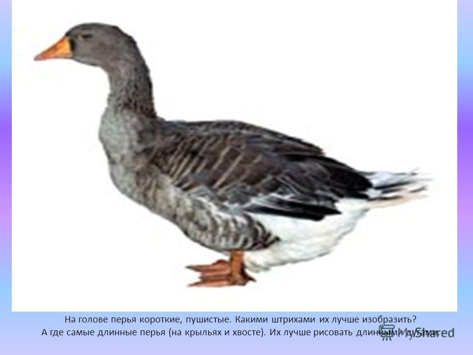 На голове перья короткие, пушистые. Какими штрихами их лучше изобразить? А где самые длинные перья (на крыльях и хвосте). Их лучше рисовать длинными дугами.