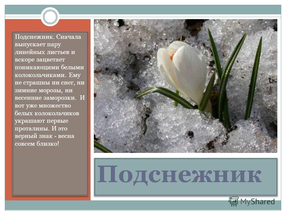 Подснежник Подснежник. Сначала выпускает пару линейных листьев и вскоре зацветает поникающими белыми колокольчиками. Ему не страшны ни снег, ни зимние морозы, ни весенние заморозки. И вот уже множество белых колокольчиков украшают первые проталины. И