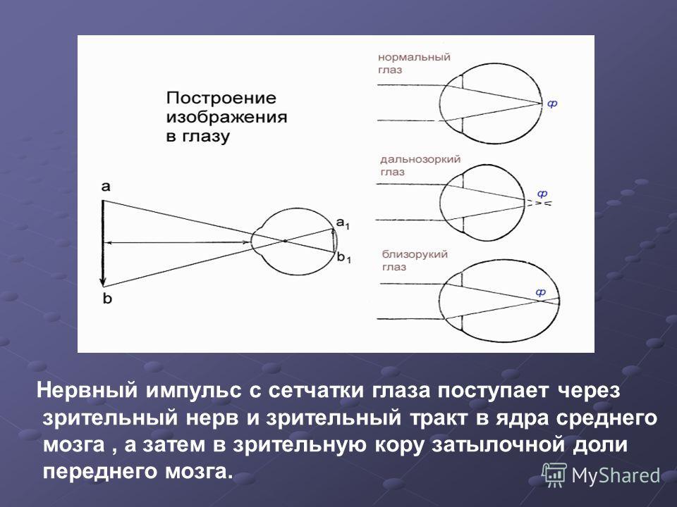 Нервный импульс с сетчатки глаза поступает через зрительный нерв и зрительный тракт в ядра среднего мозга, а затем в зрительную кору затылочной доли переднего мозга.