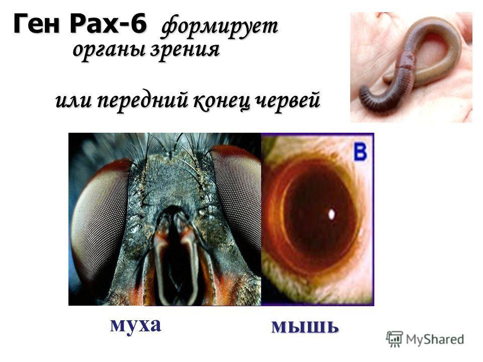 мышь муха Ген Pax-6 формирует органы зрения или передний конец червей