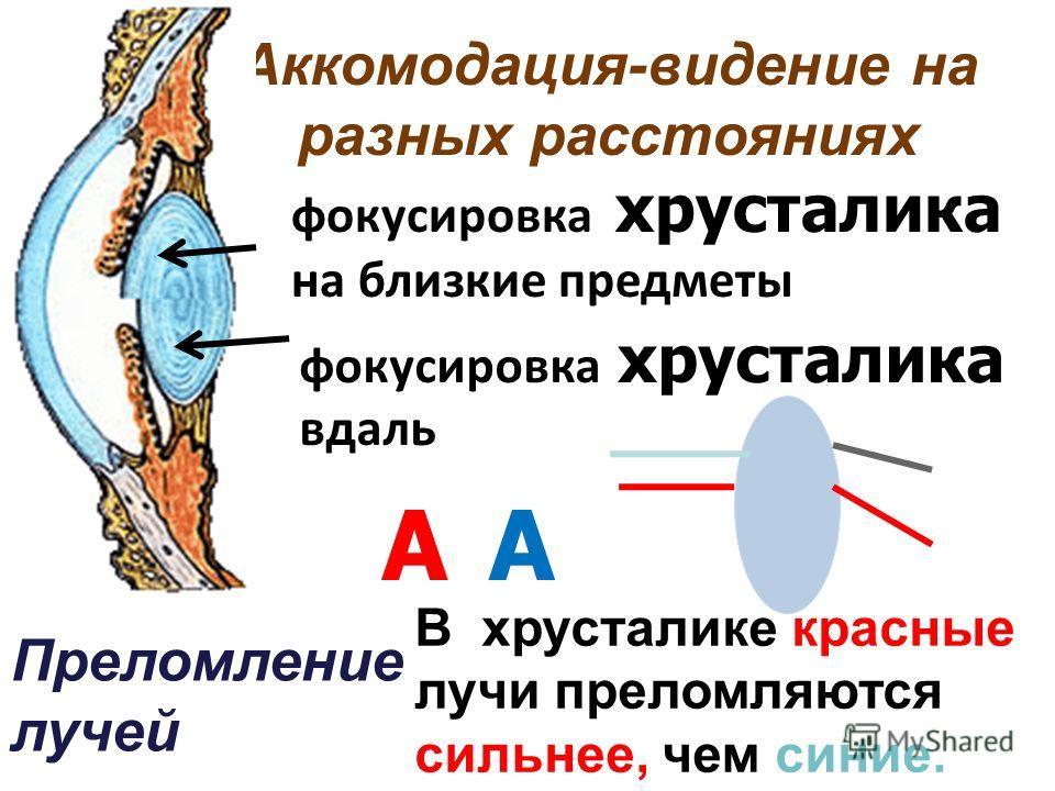 Аккомодация-видение на разных расстояниях фокусировка хрусталика на близкие предметы В хрусталике красные лучи преломляются сильнее, чем синие. АА Преломление лучей фокусировка хрусталика вдаль