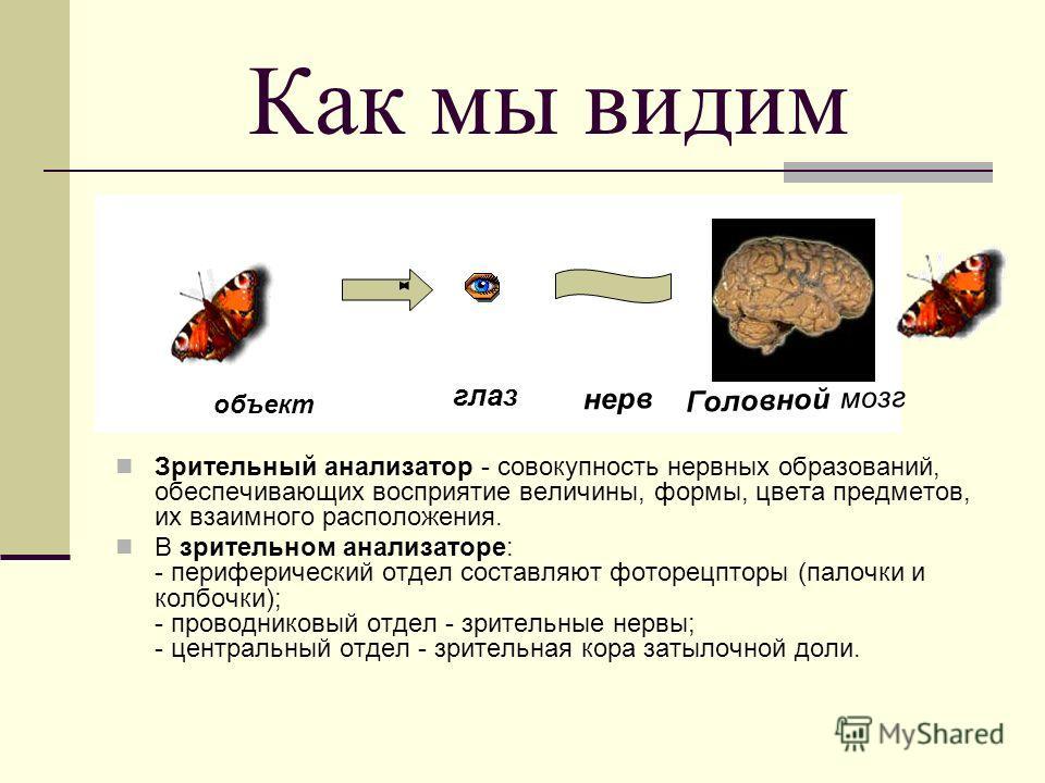 Как мы видим объект глаз нерв Головной мозг Зрительный анализатор - совокупность нервных образований, обеспечивающих восприятие величины, формы, цвета предметов, их взаимного расположения. В зрительном анализаторе: - периферический отдел составляют ф