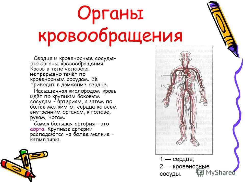 Органы кровообращения Сердце и кровеносные сосуды- это органы кровообращения. Кровь в теле человека непрерывно течёт по кровеносным сосудам. Её приводит в движение сердце. Насыщенная кислородом кровь идёт по крупным боковым сосудам - артериям, а зате