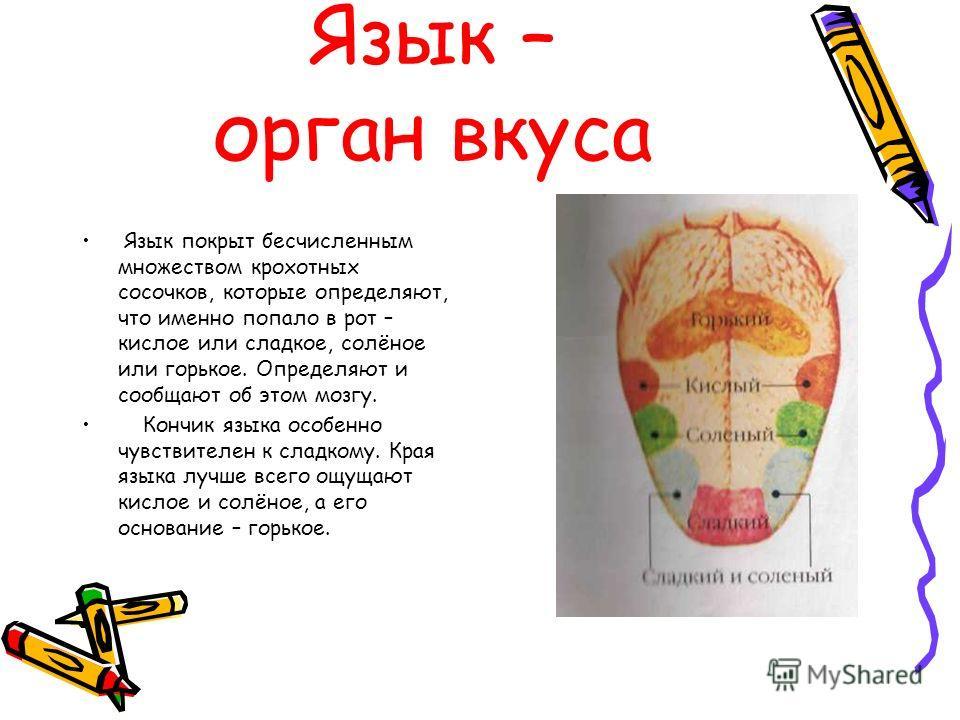 Язык – орган вкуса Язык покрыт бесчисленным множеством крохотных сосочков, которые определяют, что именно попало в рот – кислое или сладкое, солёное или горькое. Определяют и сообщают об этом мозгу. Кончик языка особенно чувствителен к сладкому. Края