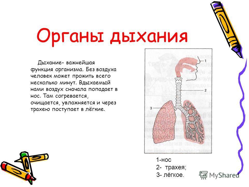Органы дыхания Дыхание- важнейшая функция организма. Без воздуха человек может прожить всего несколько минут. Вдыхаемый нами воздух сначала попадает в нос. Там согревается, очищается, увлажняется и через трахею поступает в лёгкие. 1-нос 2- трахея; 3-