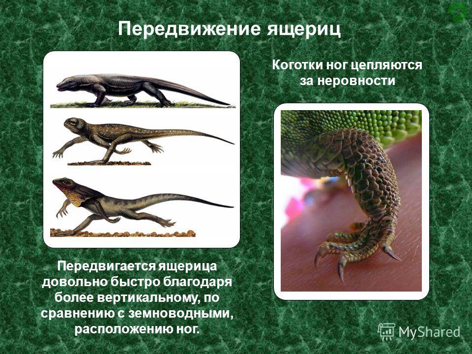 Передвижение ящериц Передвигается ящерица довольно быстро благодаря более вертикальному, по сравнению с земноводными, расположению ног. Коготки ног цепляются за неровности