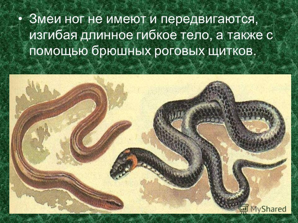 Змеи ног не имеют и передвигаются, изгибая длинное гибкое тело, а также с помощью брюшных роговых щитков.