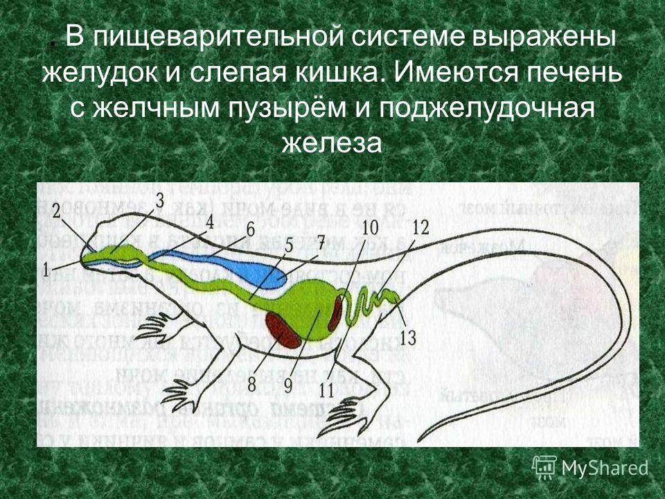 . В пищеварительной системе выражены желудок и слепая кишка. Имеются печень с желчным пузырём и поджелудочная железа