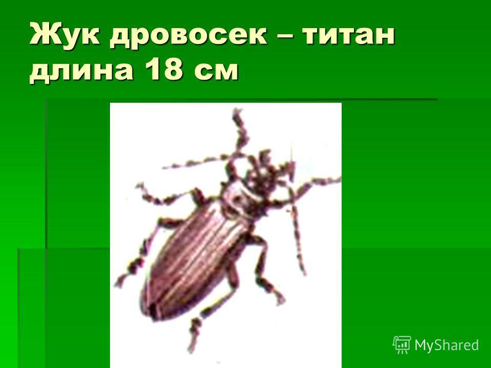 Жук дровосек – титан длина 18 см