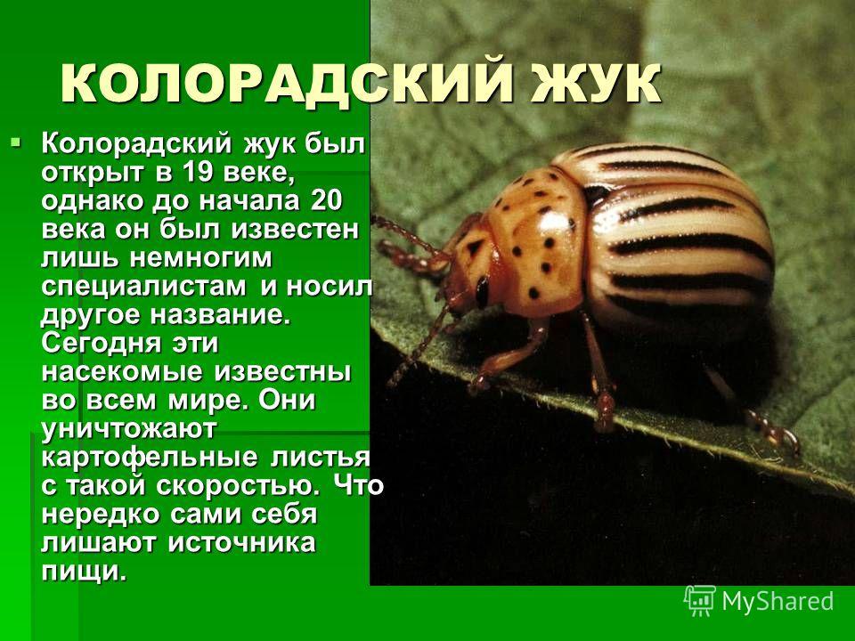 КОЛОРАДСКИЙ ЖУК Колорадский жук был открыт в 19 веке, однако до начала 20 века он был известен лишь немногим специалистам и носил другое название. Сегодня эти насекомые известны во всем мире. Они уничтожают картофельные листья с такой скоростью. Что