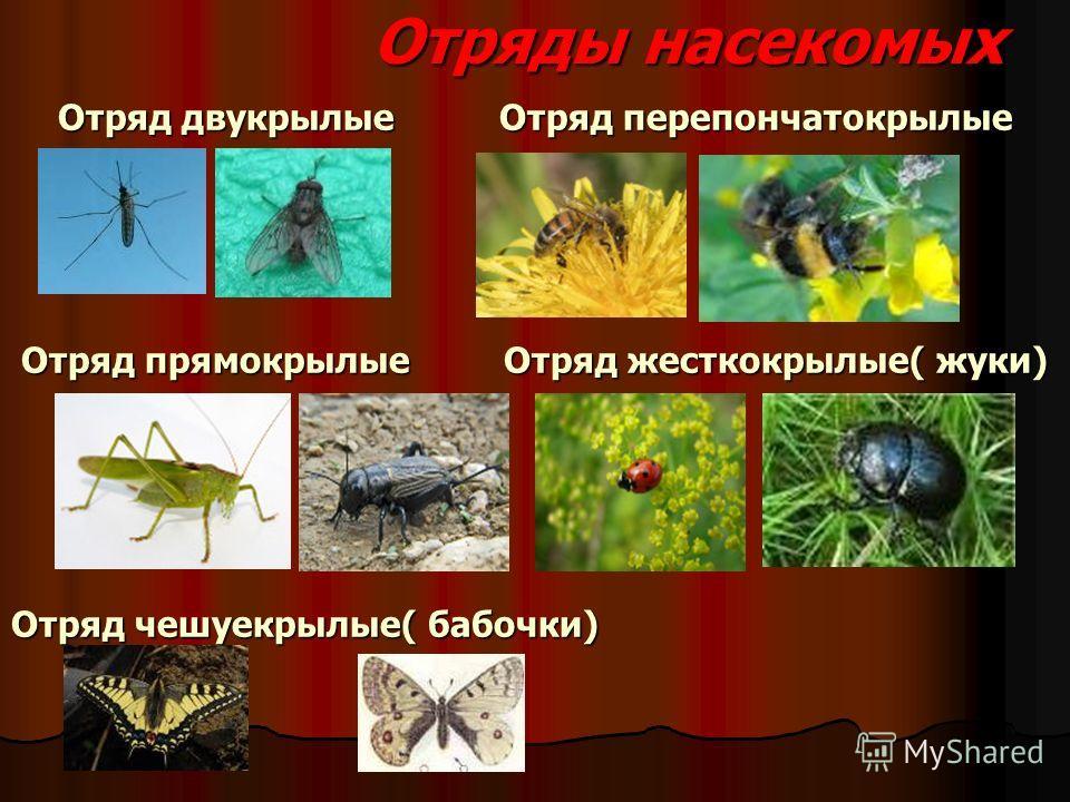 Отряды насекомых Отряд двукрылые Отряд перепончатокрылые Отряд прямокрылые Отряд жесткокрылые( жуки) Отряд чешуекрылые( бабочки)