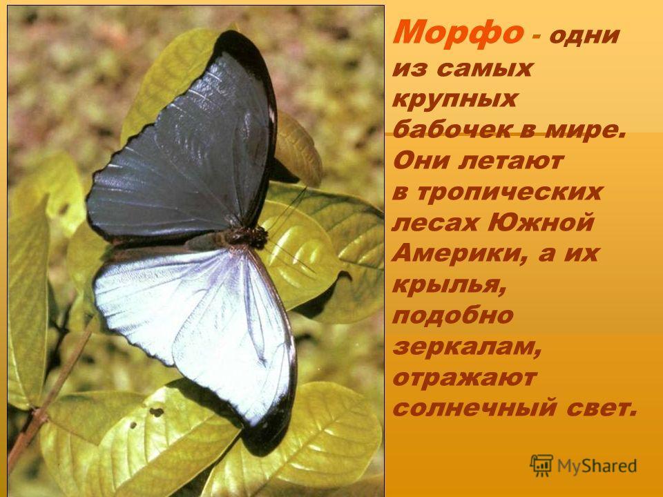 Морфо - одни из самых крупных бабочек в мире. Они летают в тропических лесах Южной Америки, а их крылья, подобно зеркалам, отражают солнечный свет.