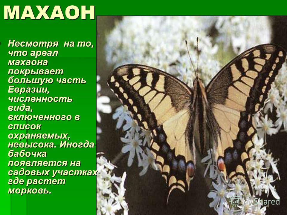 МАХАОН Несмотря на то, что ареал махаона покрывает большую часть Евразии, численность вида, включенного в список охраняемых, невысока. Иногда бабочка появляется на садовых участках где растет морковь. Несмотря на то, что ареал махаона покрывает больш