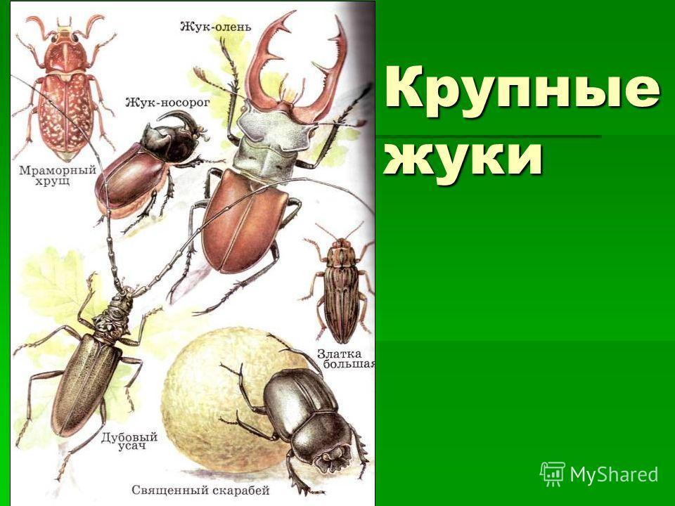 Крупные жуки