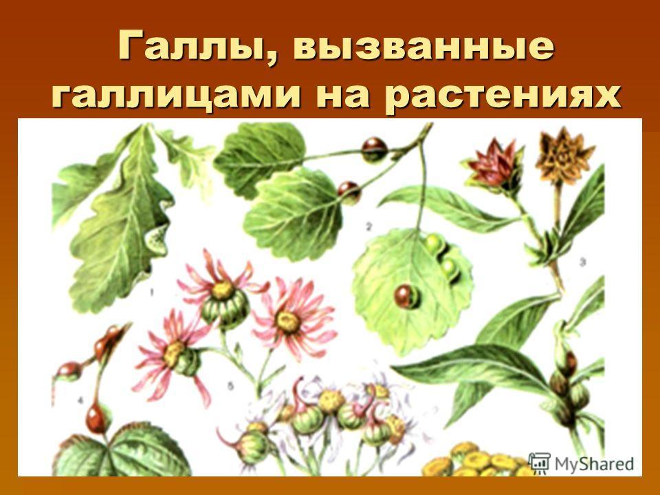 Галлы, вызванные галлицами на растениях