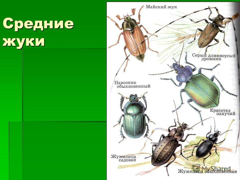 Средние жуки