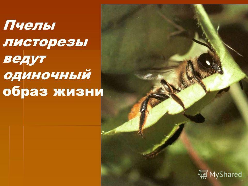 Пчелы листорезы ведут одиночный образ жизни