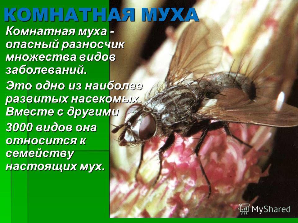 КОМНАТНАЯ МУХА Комнатная муха - опасный разносчик множества видов заболеваний. Комнатная муха - опасный разносчик множества видов заболеваний. Это одно из наиболее развитых насекомых. Вместе с другими Это одно из наиболее развитых насекомых. Вместе с