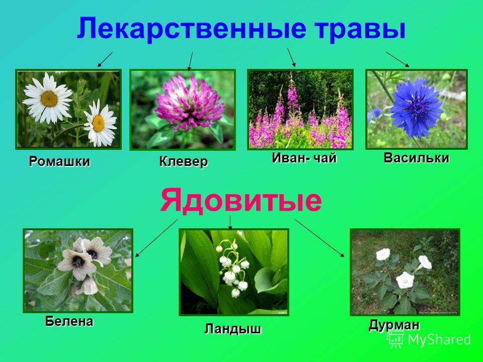Лекарственные травы Ядовитые РомашкиКлевер Васильки Иван- чай Дурман Ландыш Белена