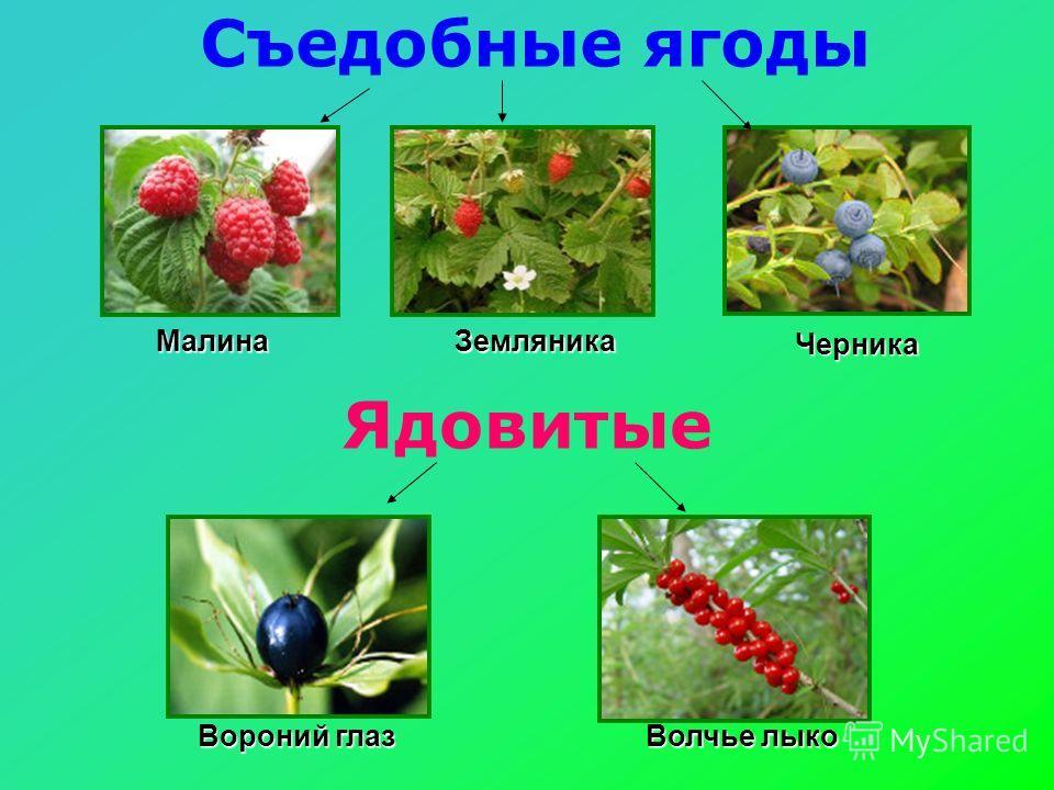 Ядовитые Съедобные ягоды МалинаЗемляника Черника Вороний глаз Волчье лыко