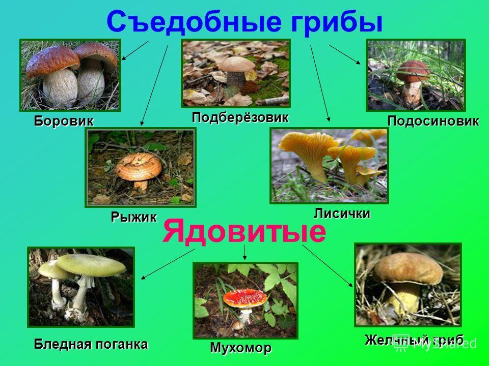 Съедобные грибы Ядовитые Боровик Подосиновик Подберёзовик Рыжик Лисички Бледная поганка Мухомор Желчный гриб