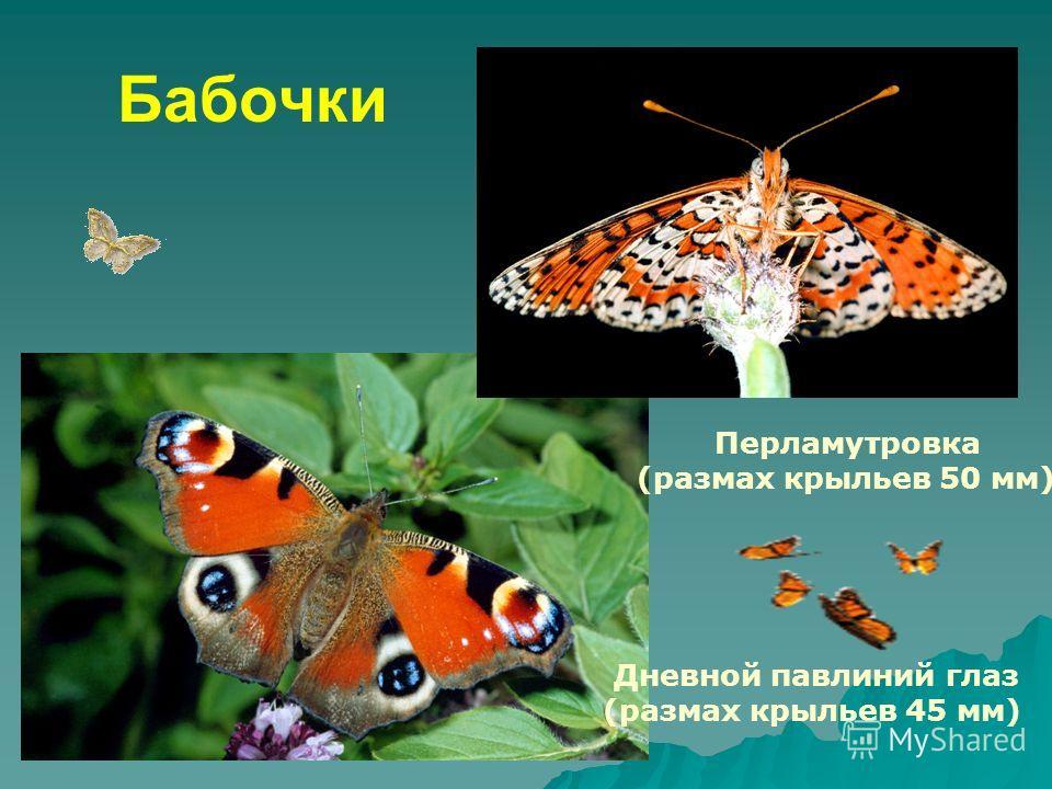 Бабочки Перламутровка (размах крыльев 50 мм) Дневной павлиний глаз (размах крыльев 45 мм)
