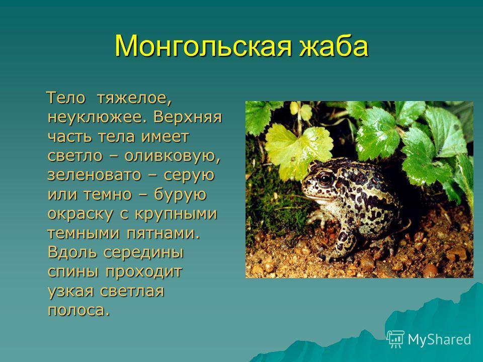 Монгольская жаба Тело тяжелое, неуклюжее. Верхняя часть тела имеет светло – оливковую, зеленовато – серую или темно – бурую окраску с крупными темными пятнами. Вдоль середины спины проходит узкая светлая полоса. Тело тяжелое, неуклюжее. Верхняя часть