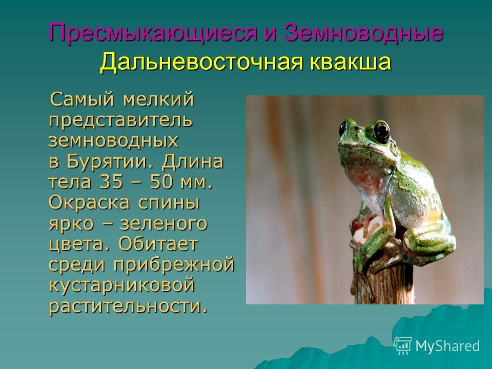 Пресмыкающиеся и Земноводные Дальневосточная квакша Самый мелкий представитель земноводных в Бурятии. Длина тела 35 – 50 мм. Окраска спины ярко – зеленого цвета. Обитает среди прибрежной кустарниковой растительности. Самый мелкий представитель земнов
