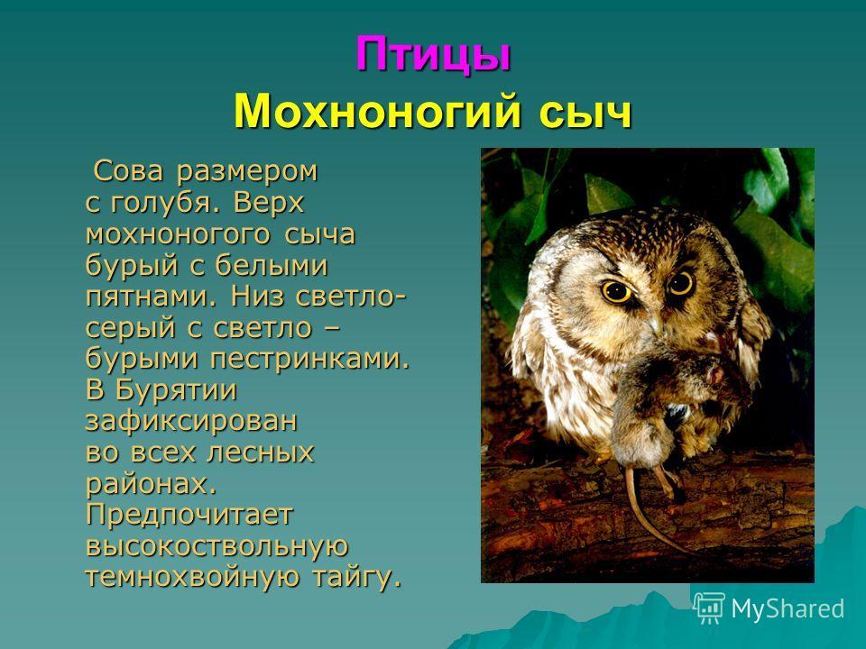 Птицы Мохноногий сыч Сова размером с голубя. Верх мохноногого сыча бурый с белыми пятнами. Низ светло- серый с светло – бурыми пестринками. В Бурятии зафиксирован во всех лесных районах. Предпочитает высокоствольную темнохвойную тайгу. Сова размером