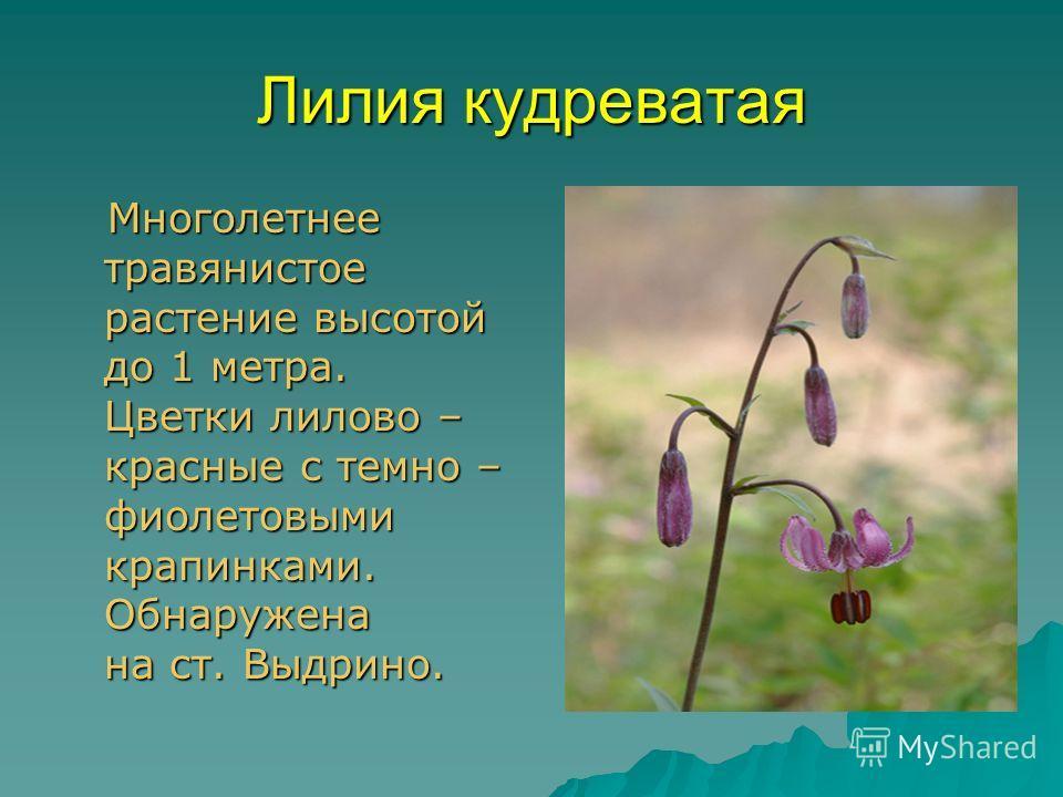 Лилия кудреватая Многолетнее травянистое растение высотой до 1 метра. Цветки лилово – красные с темно – фиолетовыми крапинками. Обнаружена на ст. Выдрино. Многолетнее травянистое растение высотой до 1 метра. Цветки лилово – красные с темно – фиолетов