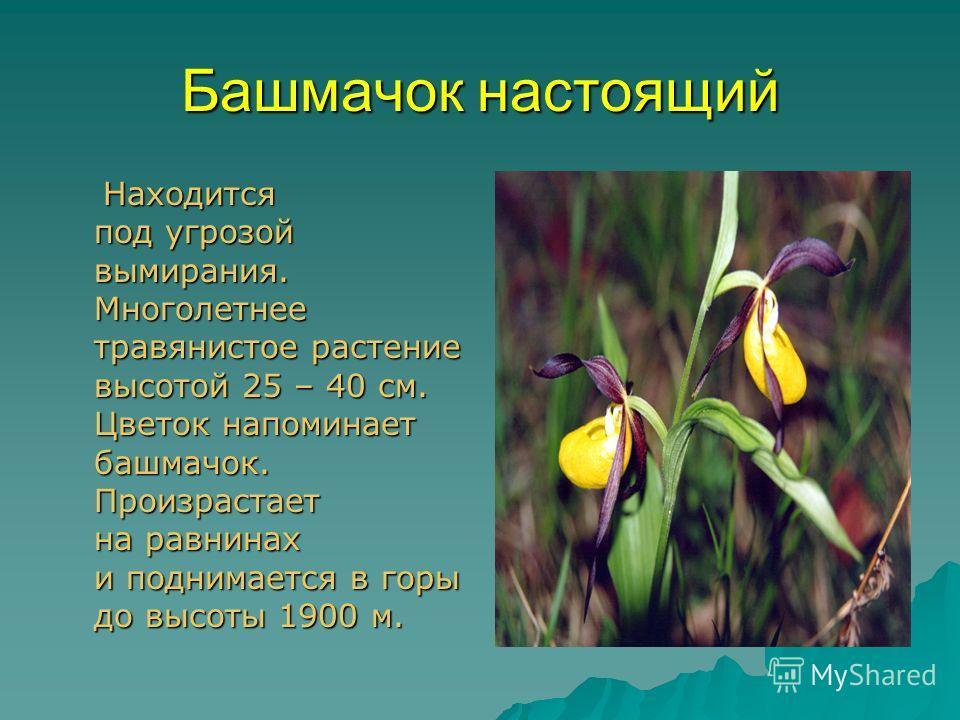 Башмачок настоящий Находится под угрозой вымирания. Многолетнее травянистое растение высотой 25 – 40 см. Цветок напоминает башмачок. Произрастает на равнинах и поднимается в горы до высоты 1900 м. Находится под угрозой вымирания. Многолетнее травянис