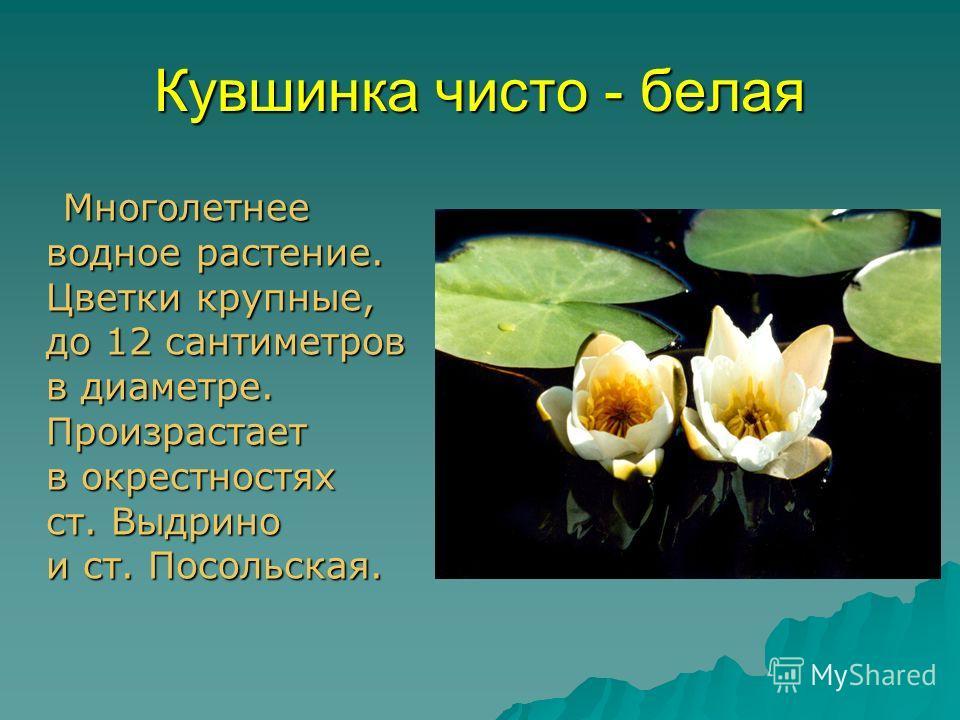 Кувшинка чисто - белая Многолетнее водное растение. Цветки крупные, до 12 сантиметров в диаметре. Произрастает в окрестностях ст. Выдрино и ст. Посольская. Многолетнее водное растение. Цветки крупные, до 12 сантиметров в диаметре. Произрастает в окре