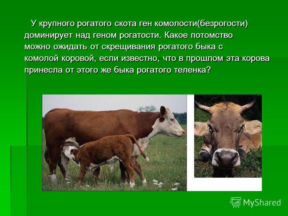 У крупного рогатого скота ген комолости(безрогости) У крупного рогатого скота ген комолости(безрогости) доминирует над геном рогатости. Какое потомство можно ожидать от скрещивания рогатого быка с комолой коровой, если известно, что в прошлом эта кор