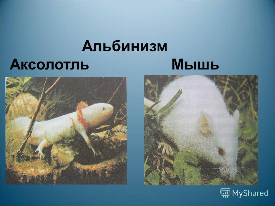 Альбинизм Аксолотль Мышь