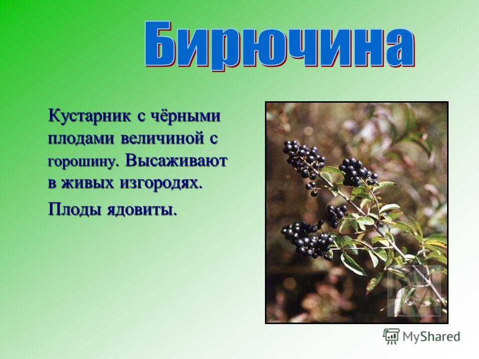 Кустарник с чёрными плодами величиной с горошину. Высаживают в живых изгородях. Кустарник с чёрными плодами величиной с горошину. Высаживают в живых изгородях. Плоды ядовиты. Плоды ядовиты.