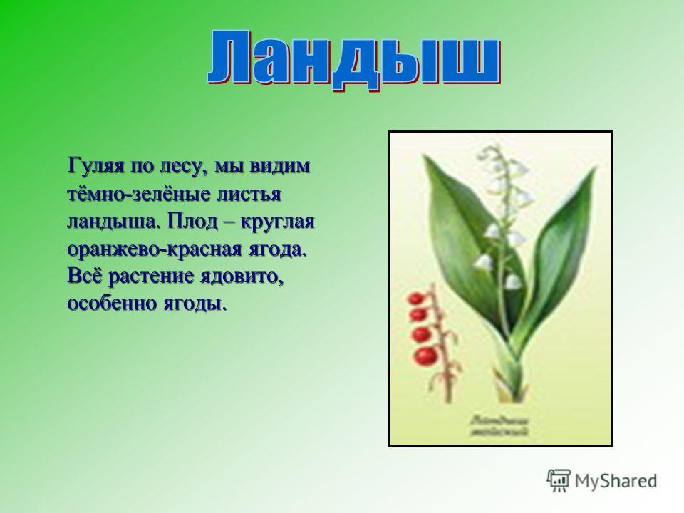 Гуляя по лесу, мы видим тёмно-зелёные листья ландыша. Плод – круглая оранжево-красная ягода. Всё растение ядовито, особенно ягоды. Гуляя по лесу, мы видим тёмно-зелёные листья ландыша. Плод – круглая оранжево-красная ягода. Всё растение ядовито, особ