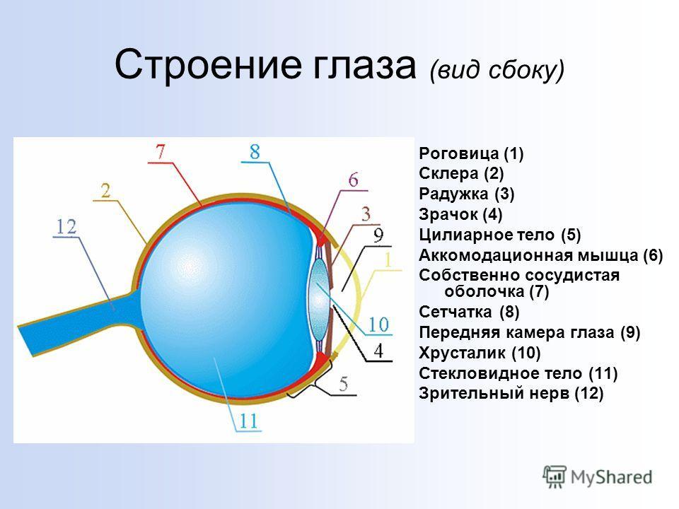 Строение глаза (вид сбоку) Роговица (1) Склера (2) Радужка (3) Зрачок (4) Цилиарное тело (5) Аккомодационная мышца (6) Собственно сосудистая оболочка (7) Сетчатка (8) Передняя камера глаза (9) Хрусталик (10) Стекловидное тело (11) Зрительный нерв (12
