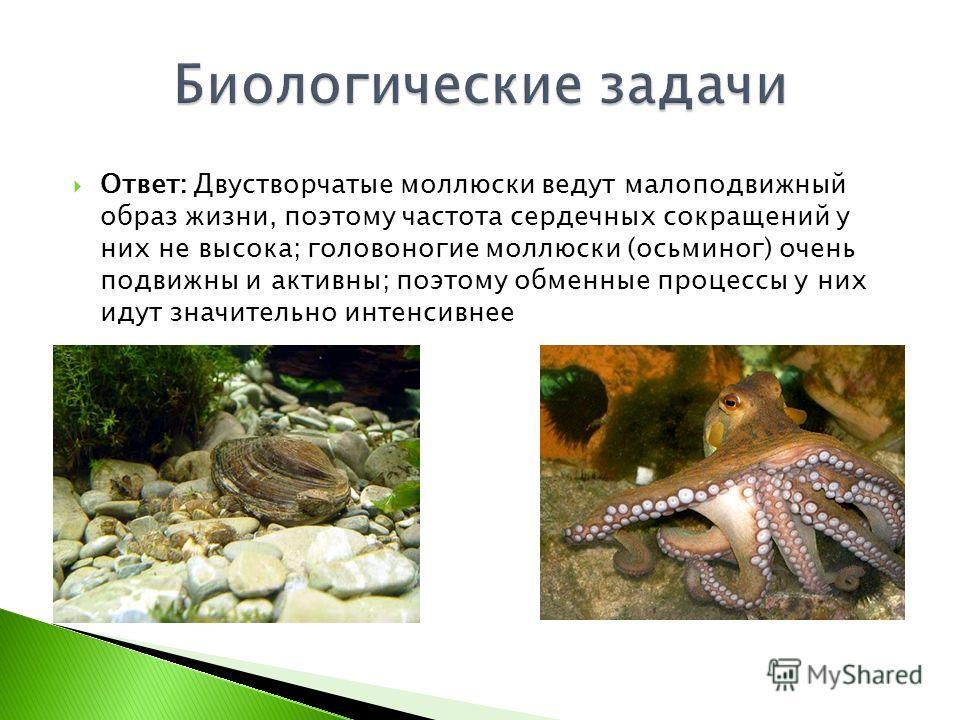 Ответ: Двустворчатые моллюски ведут малоподвижный образ жизни, поэтому частота сердечных сокращений у них не высока; головоногие моллюски (осьминог) очень подвижны и активны; поэтому обменные процессы у них идут значительно интенсивнее