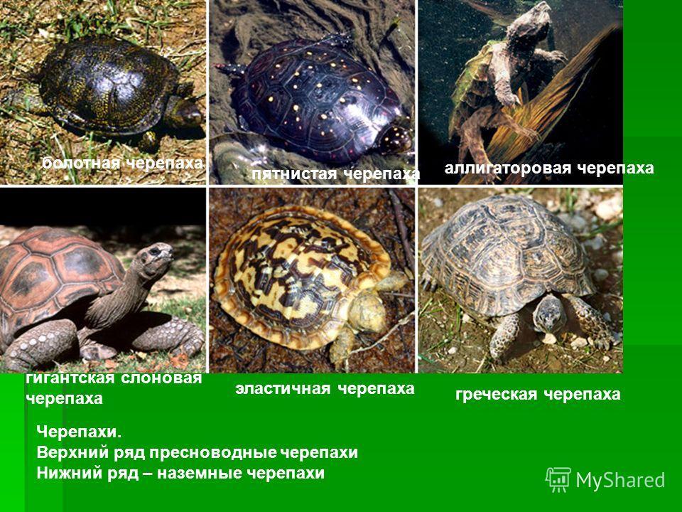 Черепахи. Верхний ряд пресноводные черепахи Нижний ряд – наземные черепахи болотная черепаха пятнистая черепаха аллигаторовая черепаха гигантская слоновая черепаха эластичная черепаха греческая черепаха