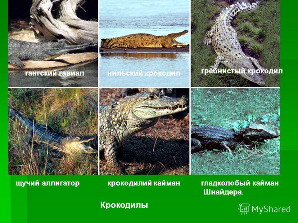 Крокодилы гангский гавиалнильский крокодил гребнистый крокодил щучий аллигаторкрокодилий каймангладколобый кайман Шнайдера.