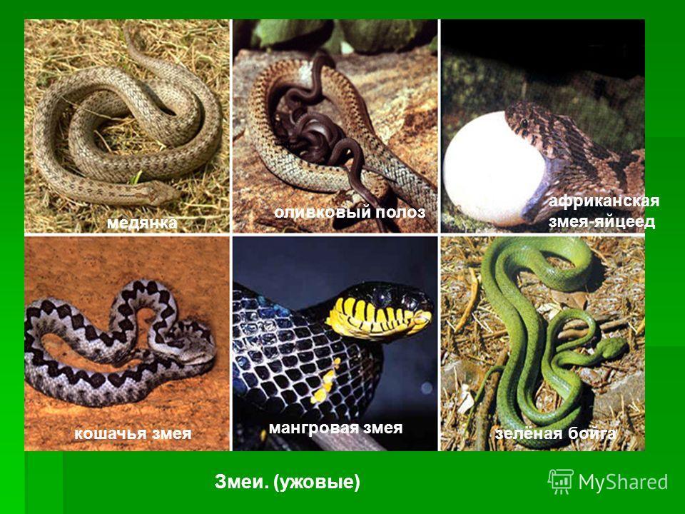 Змеи. (ужовые) медянка оливковый полоз африканская змея-яйцеед кошачья змея мангровая змея зелёная бойга