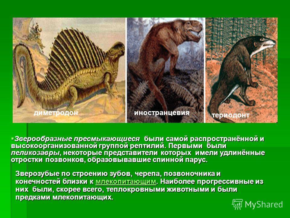 диметродониностранцевия териодонт Зверообразные пресмыкающиеся были самой распространённой и высокоорганизованной группой рептилий. Первыми были пеликозавры, некоторые представители которых имели удлинённые отростки позвонков, образовывавшие спинной