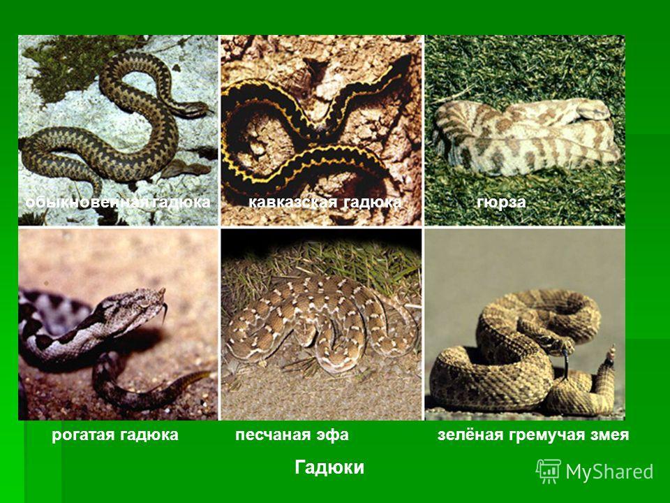 Змеи. Верхний ряд – гадюки, слева направо: обыкновенная гадюка, кавказская гаюка, песчаная эфа), гремучие змеи (зелёная гремучая змея). Змеи. Верхний ряд – гадюки, слева направо: обыкновенная гадюка, кавказская гаюка, песчаная эфа), гремучие змеи (зе