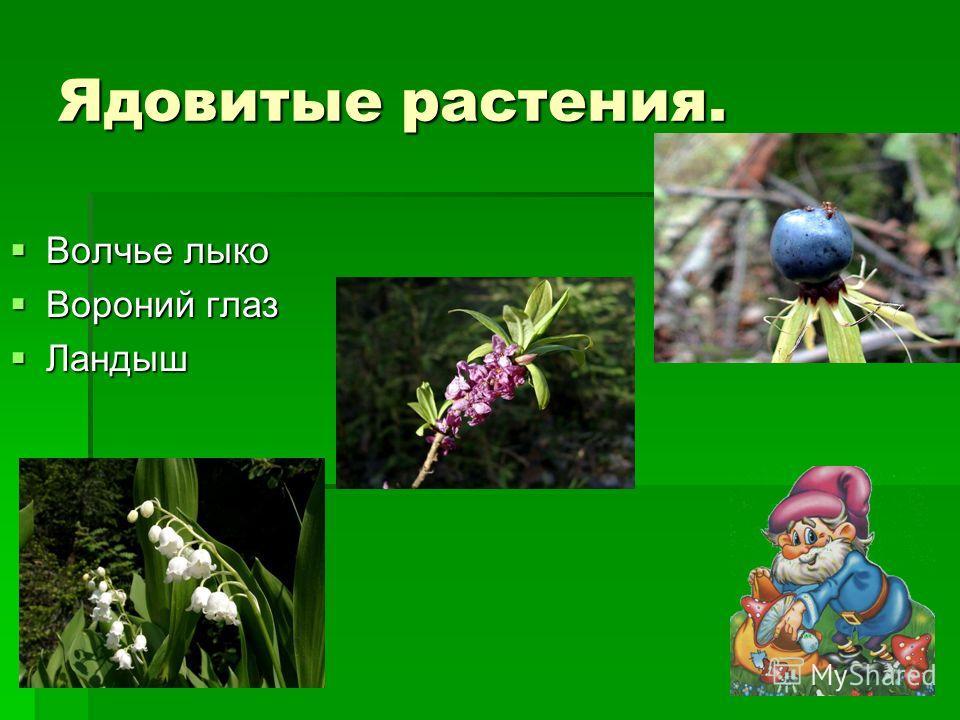 Ядовитые растения. Волчье лыко Волчье лыко Вороний глаз Вороний глаз Ландыш Ландыш