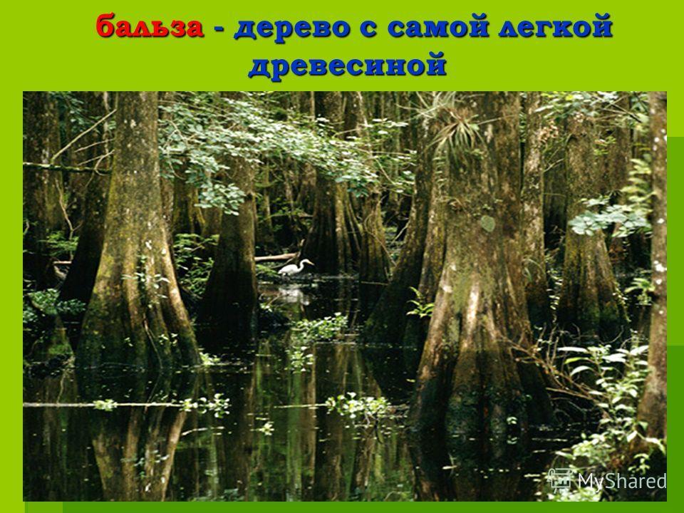 бальза - дерево с самой легкой древесиной бальза - дерево с самой легкой древесиной